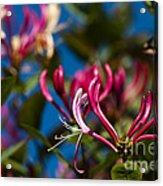 Sky Blue Pink Acrylic Print
