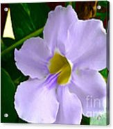 Sky Flower Or Clock Vine Acrylic Print