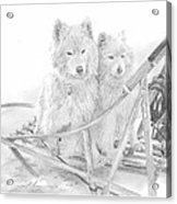 Sled Dogs Riding In Sled Pencil Portrait Acrylic Print