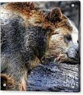 Sleeping Bear Acrylic Print