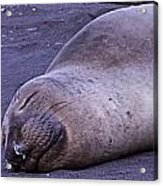 Sleeping Elephant Seal - Isla Guadalupe Mexico Acrylic Print