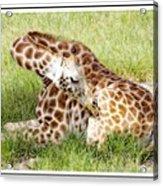 Sleeping Giraffe Acrylic Print