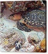 Sleeping Hawksbill Sea Turtle Acrylic Print