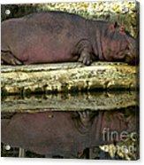 Sleeping Hipo Reflects Acrylic Print