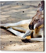 Sleeping Kangaroo Acrylic Print