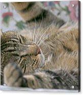 Sleeping Kitty Acrylic Print