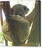 Sleeping Koala In Tree Acrylic Print