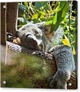 Sleeping Koala Acrylic Print