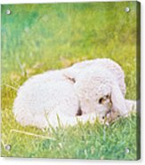 Sleeping Lamb Green Hue Acrylic Print