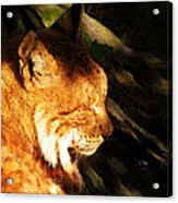 Sleeping Lynx  Acrylic Print