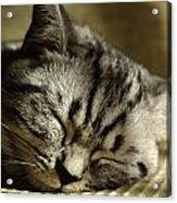 Sleeping Pet Acrylic Print