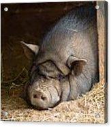 Sleeping Pig Acrylic Print