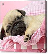 Sleeping Pug In Pink Basket Acrylic Print by Greg Cuddiford