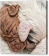Sleeping Puppies Acrylic Print