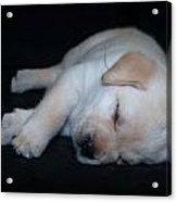 Sleeping Puppy Acrylic Print