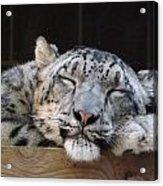 Sleeping Snow Leopard Acrylic Print