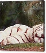 Sleeping White Snow Tiger Acrylic Print