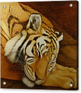 Sleeping Tiger Acrylic Print