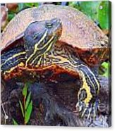 Sleeping Turtle Acrylic Print by Annette Allman