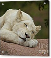 Sleeping White Lion Cub Acrylic Print