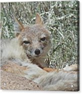 Sleepy Fox Acrylic Print