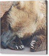 Sleepy Grizzly Bear Acrylic Print