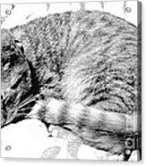 Sleepy Kitty Acrylic Print