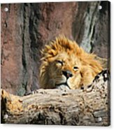 Sleepy Lion Acrylic Print