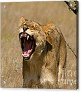 Sleepy Lioness Acrylic Print by Alison Kennedy-Benson