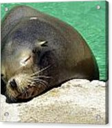 Sleepy Seal Acrylic Print