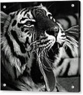 Sleepy Tiger Acrylic Print
