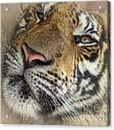 Sleepy Tiger Portrait Acrylic Print