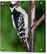 Sleepy Woodpecker Acrylic Print