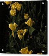 Sleepy Yellow Tulips Of The Silent Nocturne Acrylic Print