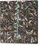 Slender Ladies Tresses Orchids Acrylic Print