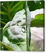Sliced Cabbage Acrylic Print