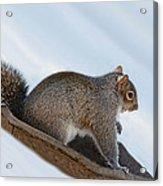 Sliding Squirrel Acrylic Print
