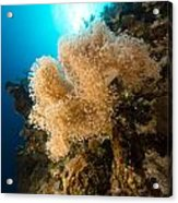 Slimy Leather Coral And Tropical Reef In The Red Sea. Acrylic Print