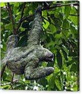 Sloth 8 Acrylic Print