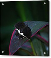 Small Black Butterfly Acrylic Print