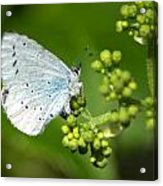 Small Blue Butterfly Acrylic Print