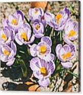 Small Crocus Flower Field Acrylic Print