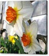 Small-cupped Daffodil Named Barrett Browning Acrylic Print