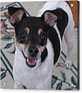 Small Dog Big Smile Acrylic Print