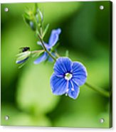 Small Fly On A Small Wildflower - Featured 3 Acrylic Print