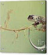 Small Lizard Sitting On The Branch Acrylic Print