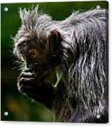 Small Monkey Eating Acrylic Print