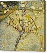 Small Pear Tree In Blossom Acrylic Print