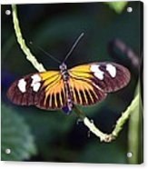 Small Postman Butterfly Acrylic Print