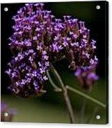 Small Purple Flowers On A Verbena Plant Acrylic Print